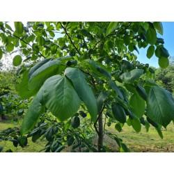 Tilia monticola - leaves in late June close up