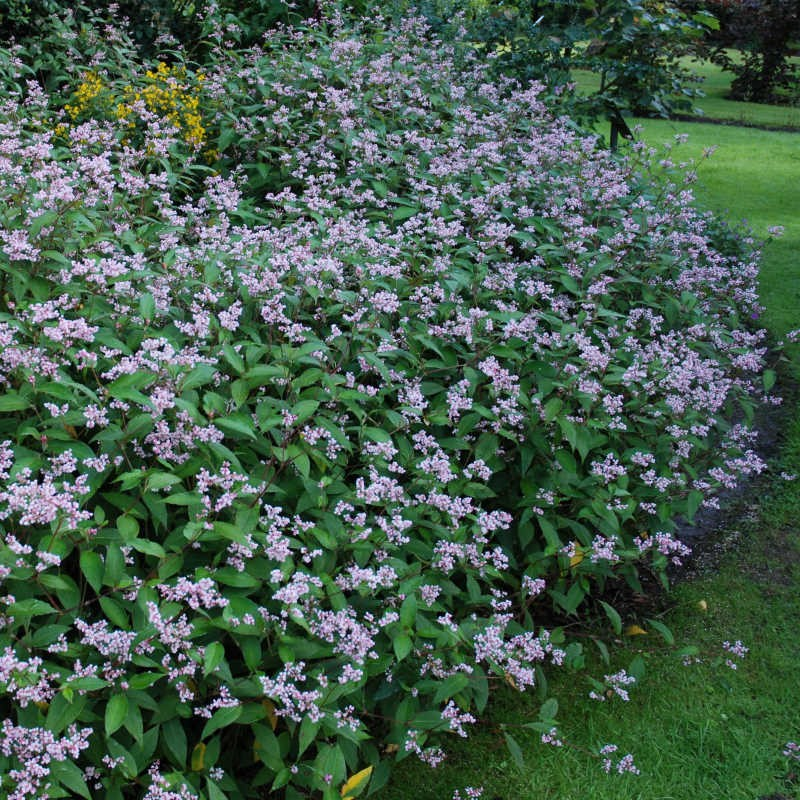 Persicaria campanulata - several established plants growing together in a border
