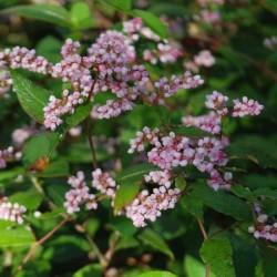 Persicaria campanulata - close up of flowers