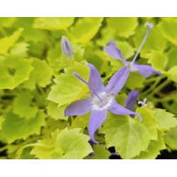 Campanula garganica 'Dickson's Gold' - flowers in Summer