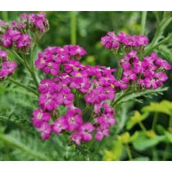 Achillea 'Lilac Beauty' - summer flowers