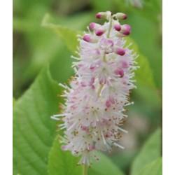Clethra alnifolia 'Pink Spire' - late summer flower