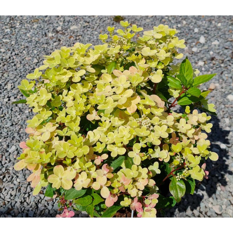 Hydrangea paniculata 'Switch Ophelia' - young plant flowers in mid Summer
