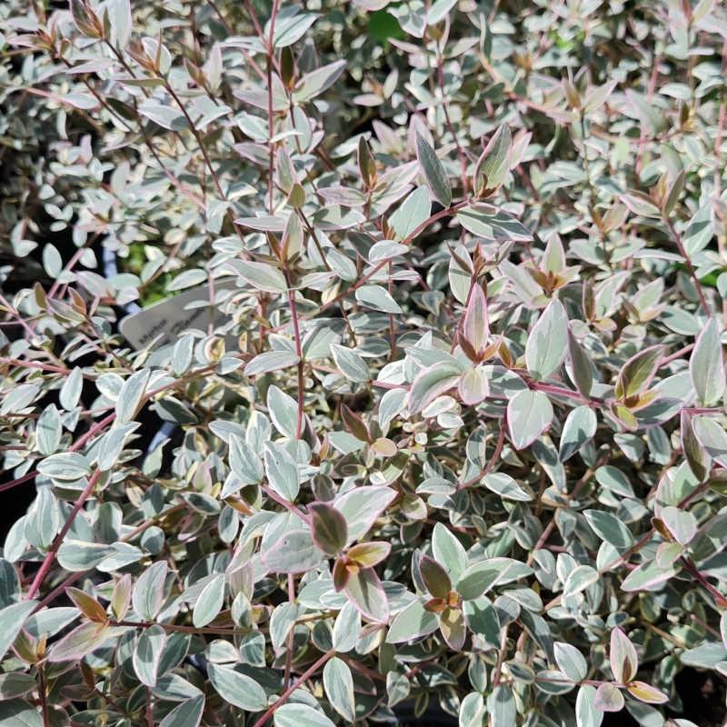 Ugni molinae 'Flambeau' - variegated leaves in July