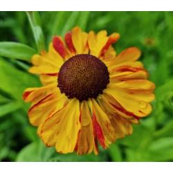 Helenium 'Sahin's Early Flowerer' - flowers in summer
