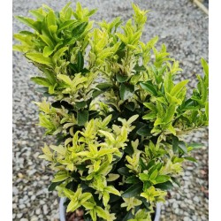 Euonymus japonicus 'Paloma Blanca' - variegated leaves in July