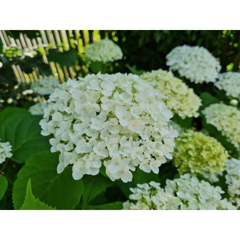 Hydrangea arborescens 'Incrediball' - flowers developing in July