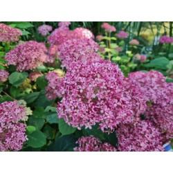 Hydrangea arborescens 'Invincibelle' - flowers in July