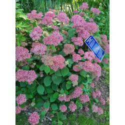Hydrangea arborescens 'Invincibelle' - established plant