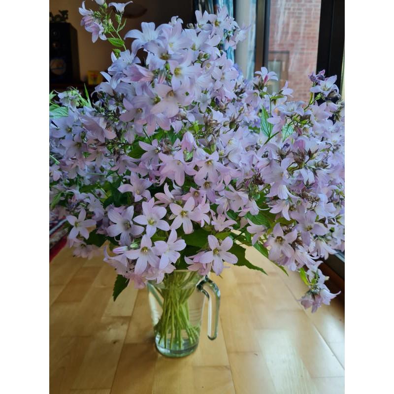 Campanula lactiflora 'Loddon Anna' - cut stems in a flower display