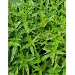 Lythrum virgatum 'Dropmore Purple' - leaves in late June