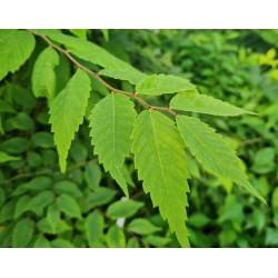 Zelkova serrata - leaf close up in July