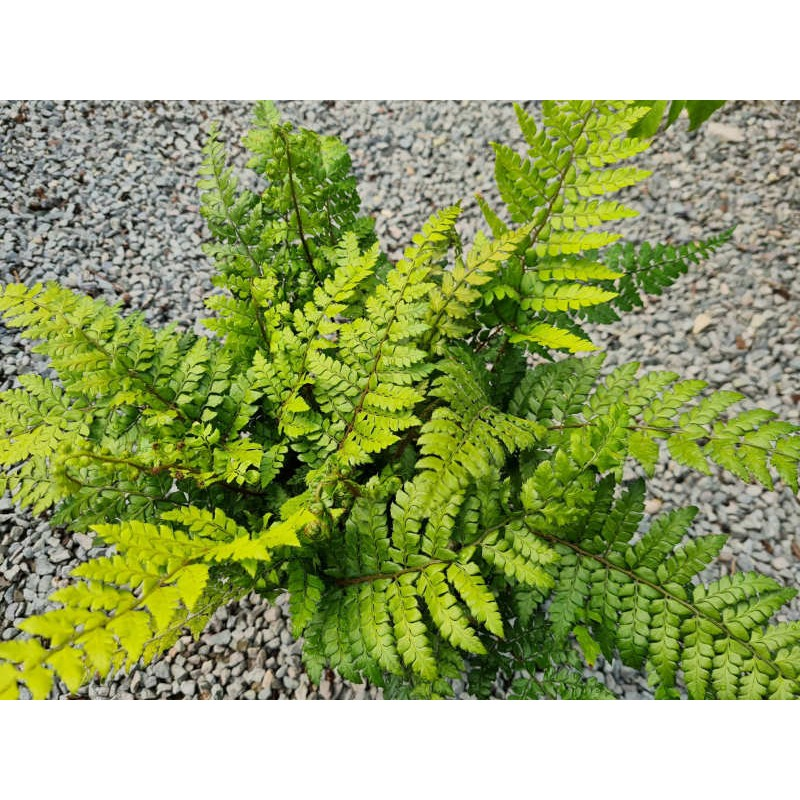 Polystichum makinoi - young plant in July