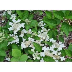 Hydrangea paniculata 'Prim White' - flowers in July