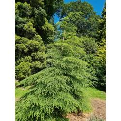 Tsuga canadensis - young tree