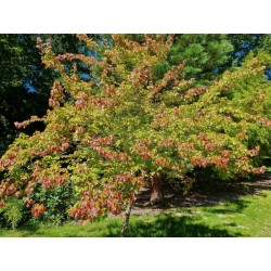 Acer buergerianum - established tree in late summer