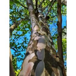 Stewartia pseudocamellia - ornamental bark