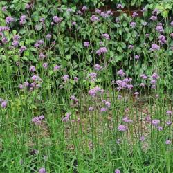 Verbena bonariensis - flowers in mid summer on an established plant