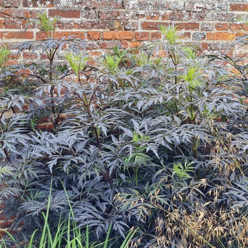 Sambucus nigra 'Black Lace' - established plant in July