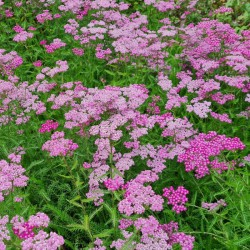 Achillea 'Lilac Beauty' - flowers on a group of plants in July