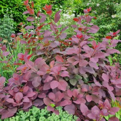 Cotinus coggygria 'Royal Purple' - leaf colour in July