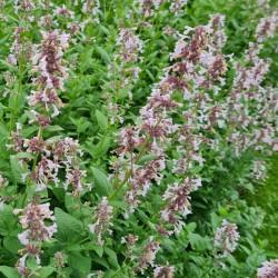 Nepeta grandiflora 'Dawn to Dusk' - flowers in July