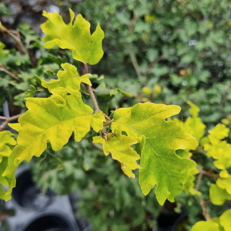 Fagus sylvatica 'Rohan Gold' - young golden-yellow leaves in early Summer