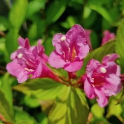 Weigela florida 'Princess Ayla' - flowers in July