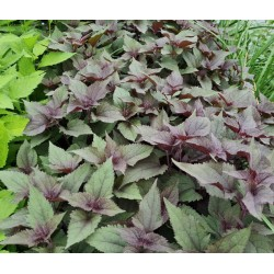 Eupatorium rugosum 'Chocolate' - leaves in July