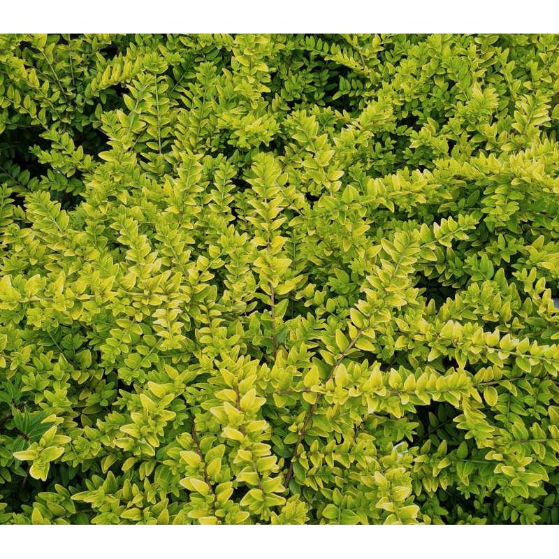 Lonicera nitida 'Golden Glow' - golden leaves in July