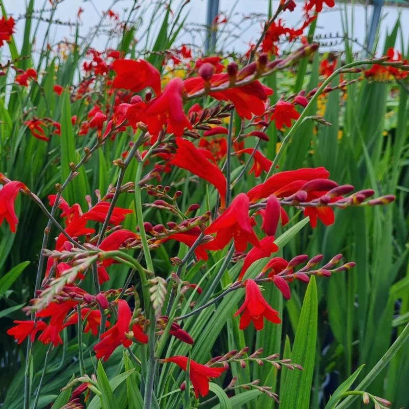 Crocosmia 'Emberglow' - flowers opening in July