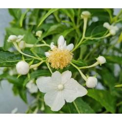 Platycrater arguta - white flowers in July
