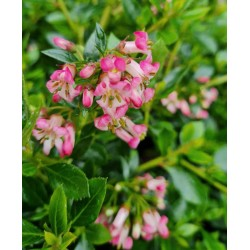 Escallonia 'Showstopper' - flowers in July