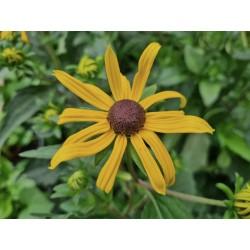 Rudbeckia 'Goldsturm' - flowers in July