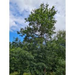 Quercus ellipsoidalis - established tree