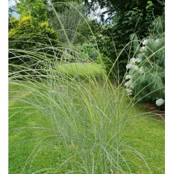 Miscanthus sinensis 'Morning Light' - in late July