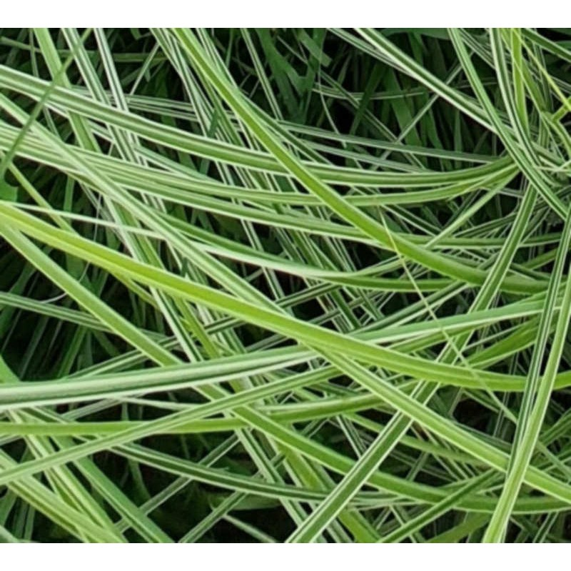 Miscanthus sinensis 'Morning Light' - close up of variegated leaves
