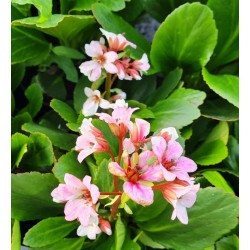 Bergenia 'Fire and Ice' - flowers