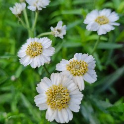 Achillea ptarmica 'The Pearl' - flowers in summer