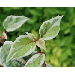 Schizophragma hydrangeoides 'Shiro Fuka Fukurin Fu' - variegated summer leaves