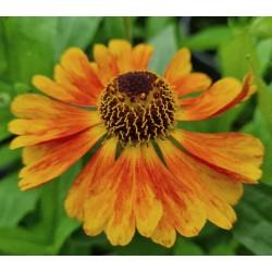 Helenium 'Mardi Gras'  - summer flowers