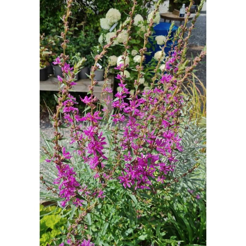 Lythrum virgatum 'Dropmore Purple' - summer flowers
