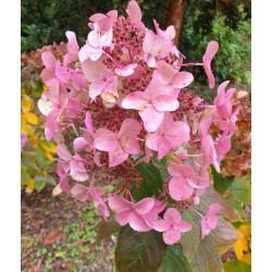 Hydrangea paniculata 'Wim's Red'' - flowers in autumn