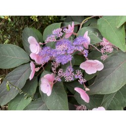 Hydrangea aspera 'Hot Chocolate' - summer flowers