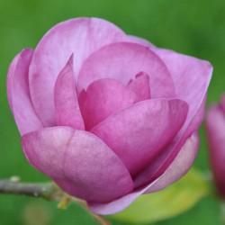 Magnolia 'Black Tulip' - flowers in Spring