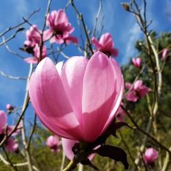 Magnolia 'Copeland Court' - flowers in Spring