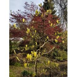 Magnolia x 'Butterflies' - flowers in Spring