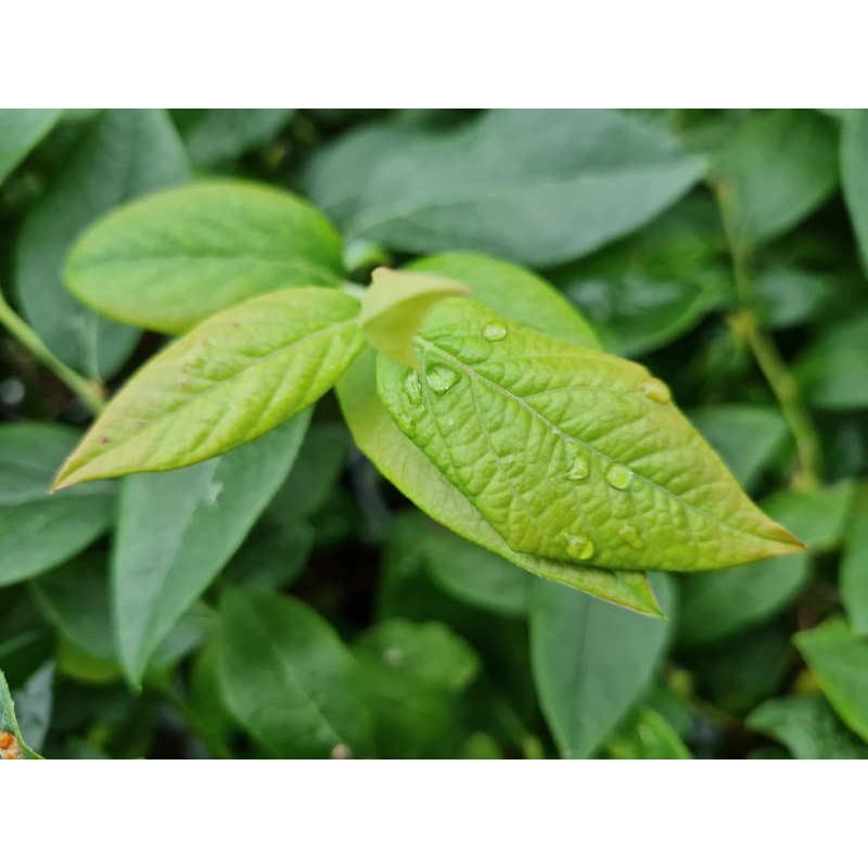 Vaccinium corymbosum 'Brigitta Blue' - summer leaves