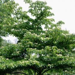 Cornus controversa - mature specimen flowering in early summer