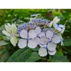 Hydrangea serrata 'Blue Deckle' - flowers in late August